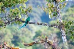 Великолепный Quetzal Стоковые Фото