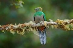 Великолепный Quetzal, Savegre в Коста-Рика с зеленым лесом в предпосылке Пышная священная зеленая и красная птица Портрет детали Стоковые Изображения RF