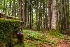 Величает мертвый ствол дерева с мхом в лесе бука Стоковые Фото