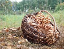 Величает пластинчатый гриб меда в корзине Стоковая Фотография