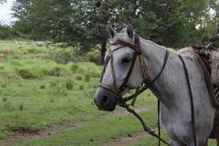 Величественная лошадь Стоковая Фотография