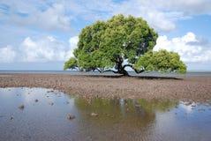 величественная мангрова стоковая фотография