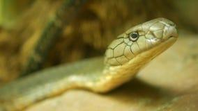 Величественная ядовитая змейка со светлой striped кожей Красивая Monocled кобра короля на утесе в клетке terrarium