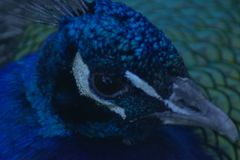 Величественное и действительно прекрасное peacok стоковые фото