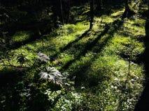 Величественное королевство леса Стоковая Фотография RF