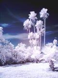 величественные ладони Стоковая Фотография