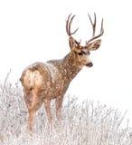 Величественные олени самца оленя в снеге Стоковая Фотография