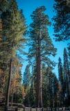 Величественные redwoods в национальном парке секвойи, Калифорнии, США Стоковое Изображение