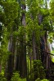 величественные redwoods Стоковое Изображение RF