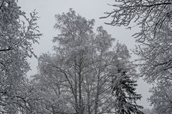 Величественный взгляд снежных верхних деревьев в парке зимы, Bankya Стоковое Изображение