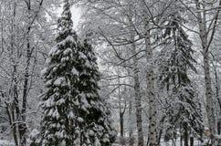 Величественный взгляд снежных деревьев в парке зимы, Bankya Стоковые Изображения RF