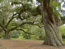 величественный дуб Стоковые Изображения