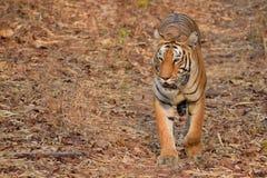 Величественный королевский тигр Бенгалии на запасе тигра Tadoba, Индии стоковая фотография