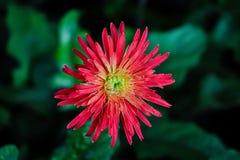 Величественный красный цветок искупанный в мягком зеленом Bokeh стоковое изображение rf