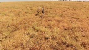Величественный страус в поле видеоматериал