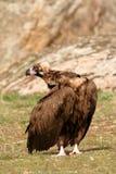 Величественный черный хищник Стоковые Изображения RF