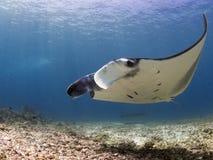 Величественный manta рифа Стоковое Фото