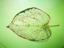 Вена лист лежа на зеленой предпосылке Стоковая Фотография RF