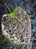 Вена лист лежа на черной земле Стоковое Фото