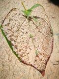 Вена лист с деревянной доской Стоковая Фотография