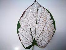 Вена лист с серой предпосылкой Стоковое фото RF