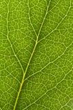 вена листьев Стоковая Фотография RF