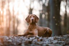 Венгерская гончая собака указателя стоковые изображения rf