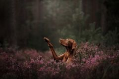 Венгерская собака породы Любимчик дает лапку в цветках Лето стоковые изображения rf