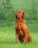 Венгерская собака указателя (vizsla) Стоковое фото RF