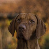 Венгерская собака Vizsla стоковые фотографии rf