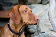 Венгерская short-haired указывая собака стоковые фотографии rf