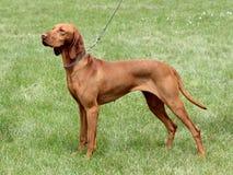 Венгерская Short-haired указывая собака стоковое фото rf