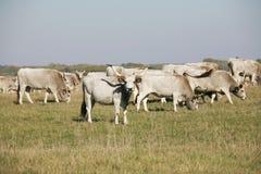Венгерские серые коровы скотин при икры пася на лете выгона Стоковое Фото