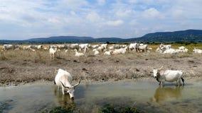 Венгерские серые скотины в выгоне Стоковое Изображение RF