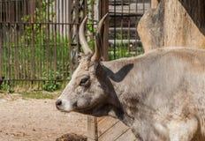 Венгерские скотины степи один индивидуал, изображение в профиле стоковые изображения rf