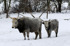 Венгерский серый цвет в времени зимы Стоковые Изображения