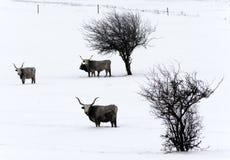 Венгерский серый цвет на лужке зимы Стоковые Изображения RF
