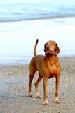 Венгерск-короткая с волосами указывая собака на пляже стоковые изображения