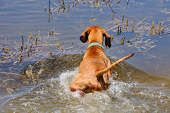Венгерск-короткая с волосами указывая собака стоковые изображения rf
