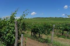 Венгрия - предпосылка виноградников с виноградниками Tokaj Стоковые Фото