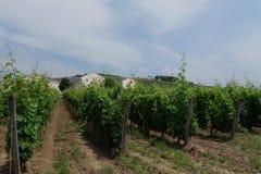 Венгрия - предпосылка виноградников с виноградниками Tokaj Стоковая Фотография RF