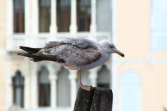 Венеция, чайка стоковые изображения