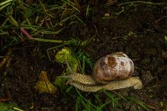 Венская улитка в ненастном лесе стоковые изображения