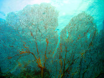 вентилятор коралла стоковые изображения
