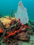вентилятор коралла Стоковое фото RF