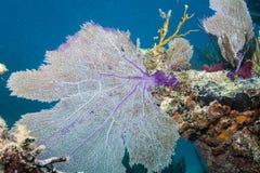Вентилятор моря Стоковые Фото