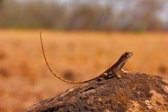 Вентилятор-throated ящерица, laticeps Sitana, Kolhapur, ИНДИЯ Стоковая Фотография
