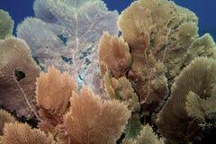 Вентиляторы моря стоковая фотография rf