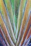 Вентилятор банана Стоковое Изображение