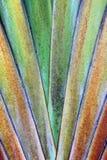 Вентилятор банана Стоковое Фото